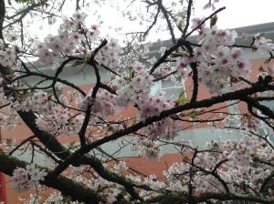 阿里山—櫻花(1)