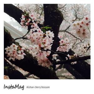 阿里山—櫻花(3)