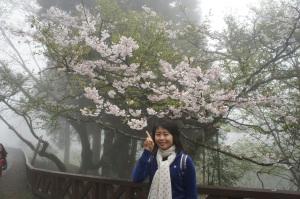 阿里山—櫻花(2)