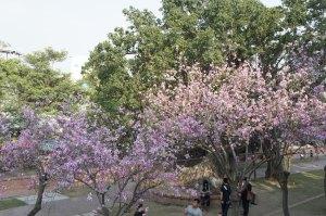 安平古堡內的櫻花